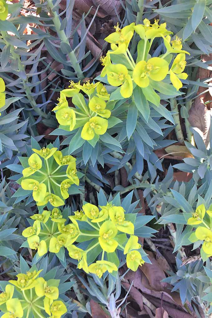 Vertical image of several clusters of chartreuse flowers topping long stems circles with short, spiky blue-green leaves on a gopher plant growing in soil topped with small, dry, brown leaves.