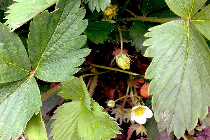 A small white strawberry is just beginning to develop, alongside a white strawberry flower, growing in the shade of several large green leaves with serrated edges.