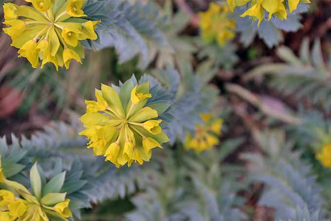 Yellow-green blossoms cluster at the top of long stems circles with spiky gray-blue leaves of the gopher plant.