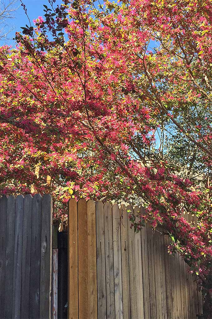 The branches of an L. Chinense reach out over a tall, wooden fence separating the yards of neighbors. The tree bears bright pink, frilly flowers that give the Chinese fringes such a unique appearance.