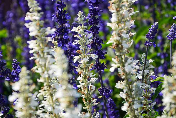 Royal blue and white salvia flowers.