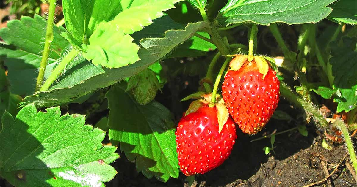 How To Grow And Harvest Strawberries Gardener S Path