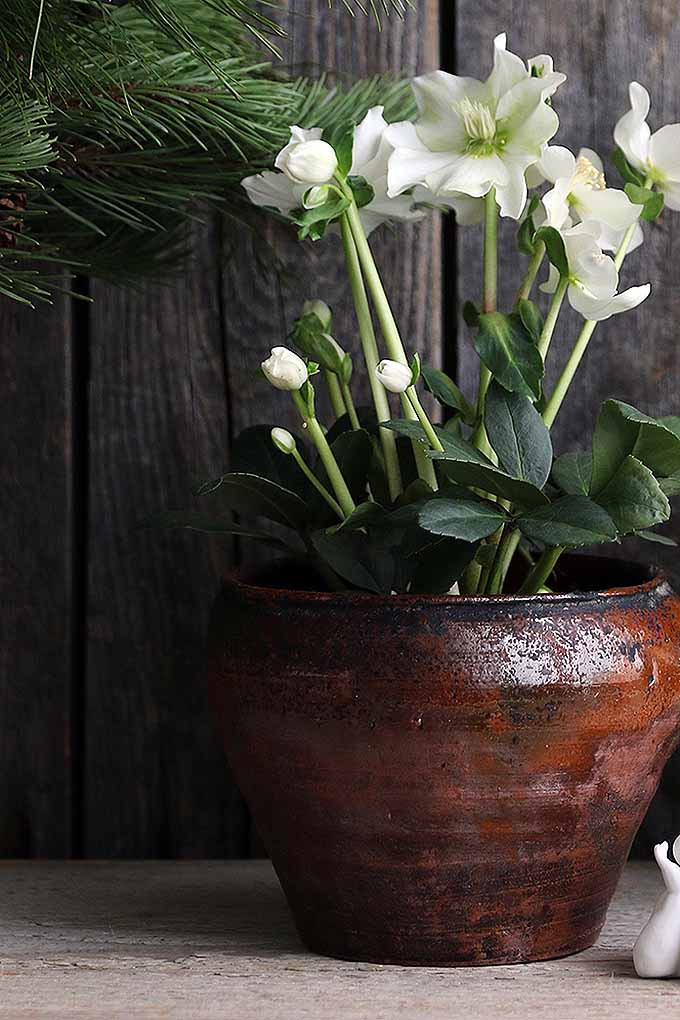 A mature, flowering hellebore is growing in a brown ceramic pot. The plant is supporting large, white flowers at the tips of long stalks that reach far beyond the leaves. In the background is a rough wooden wall and the needles of a pine tree.