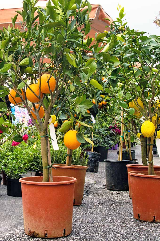 Two rows of dwarf orange and lemon trees growing in orange and black plastic nursery containers.