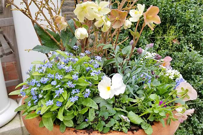 A large orange-colored terra cotta flower pot filled with blue forget-me-nots, white pansies, and peach-colored hellebores.