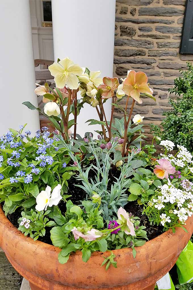 Three peach hellebores are the focal point of a large terra-cotta garden planter filled with forget-me-nots, white flowers, and silver-green foliage, in front of a stone house with white columns in the front beside the entrance.