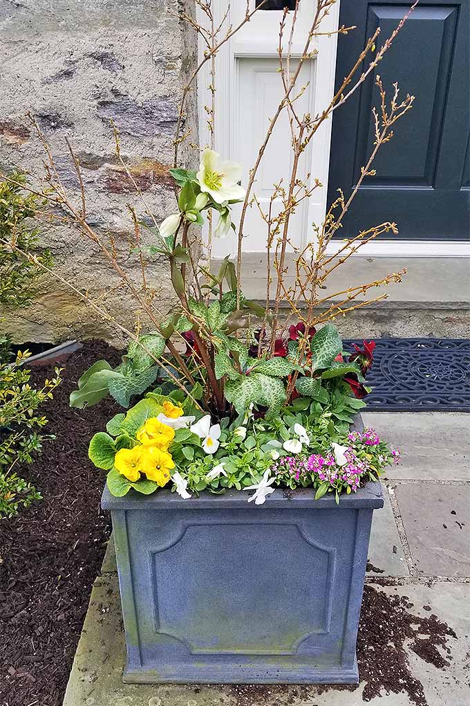 A gray, square, decorative planter filled with yellow and burgundy pansies and forsythia branches, on the cement front sidewalk of a stone house, in front of a black door, next to a mulched garden bed with a green shrub.