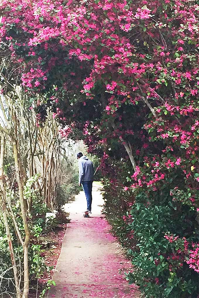 The branches of Chinese fringe trees reach out over the sidewalk forming a half tunnel that a passerby can be seen skateboarding underneath. The bright pink flowers of the plants outnumber the leaves and can also be seen carpeting the ground below.