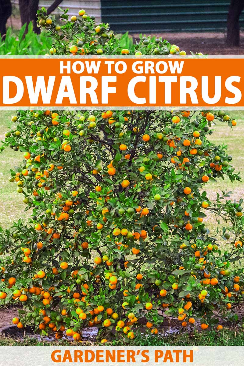 A Dwarf Citrus Tree Covered With Orange Fruit And Green Leaves Growing In