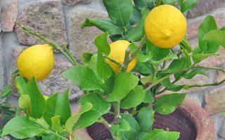 Closeup of three yellow lemons growing on short branches with green leaves, growing in a large terra cotta pot filled with brown soil, in front of a tan stone wall.