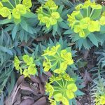 Blooming Euphorbia rigida with chartreuse blossoms atop tall stems with pointy, narrow blue-green leaves.