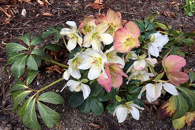A Lenten rose is in full bloom in a garden displaying its wide variety of colors. The leaves are dark green with brighter veins with some fading to brown at the tips. The flowers are either white or pink with golden stamen on display within.