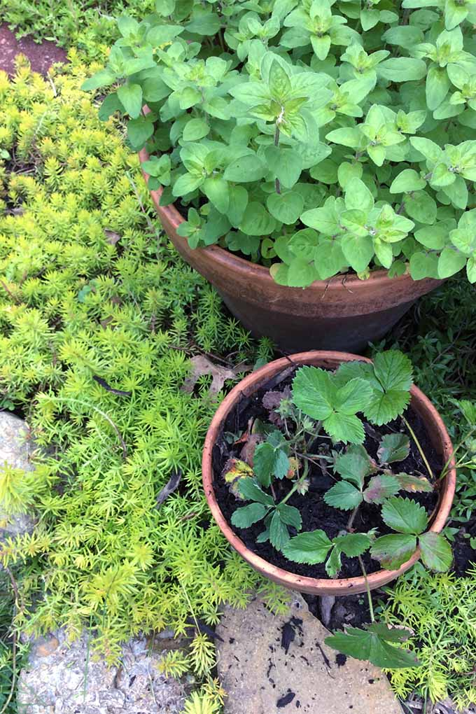 Vertical image of al light green sedum growing in a garden bed, beside a large potted spearmint and smaller potted strawberry plant with green leaves.