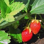 Two vibrant red strawberries hang from skinny stems towards the brown earth, growing on a plant in the sunshine with green leaves.