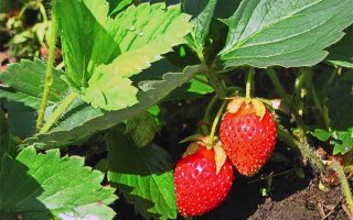 Grow Your Own: Never Suffer Through a Bland Batch of Store Bought Strawberries Again