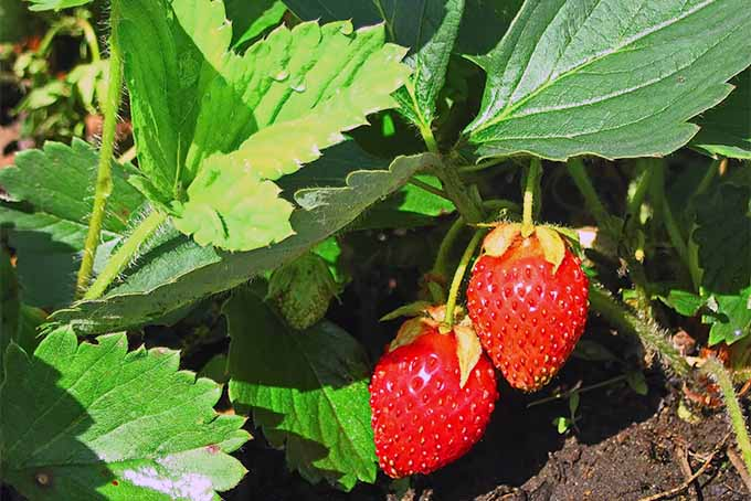 growing strawberries ultimate guide