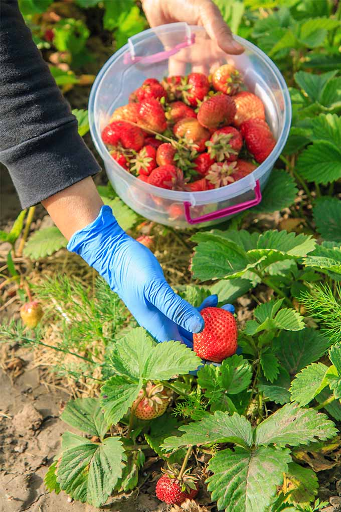 A woman wearing a long-sleeved black sweatshirt holds a plastic container filled with just-picked strawberries in her left hand and picks more fruit from a plant with bright green leaves with her right hand, which is wearing a blue latex glove.