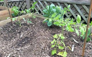 Small tomato plants and leafy greens growing in a wooden raised bed planter filled with brown soil topped with wood chip mulch, with two rusty rebar stakes placed at either end of the bed, with twine threaded between them to create supports, with the base of a wooden deck in the background.
