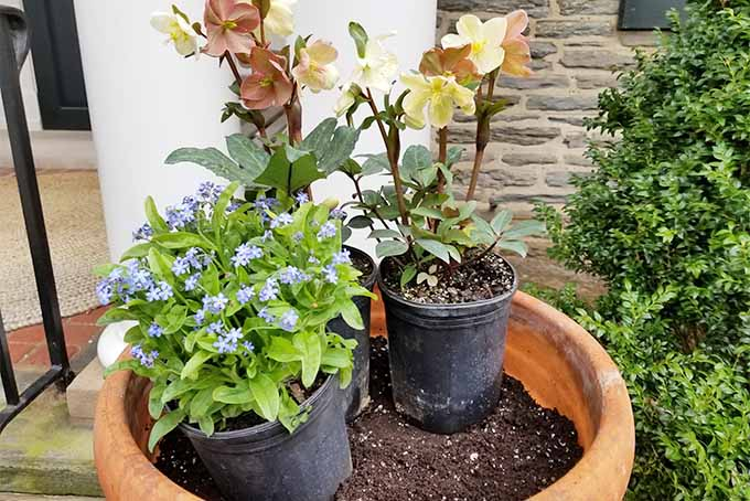 Two peach-colored hellebores and a forget-me-not plant in black plastic pots arranged in preparation for planting in a large round terra-cotta planter filled with brown potting soil, in front of a stone building with a large green boxwood bush to the right.