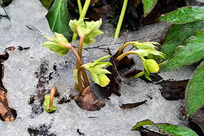 A few stalks of the Lenten rose have risen from the ground through a layer of late winter snow. The hellebores have stems with a red hue that leads up to yellow and green colored leaves. In the background, larger plants with spiked leaves are growing.