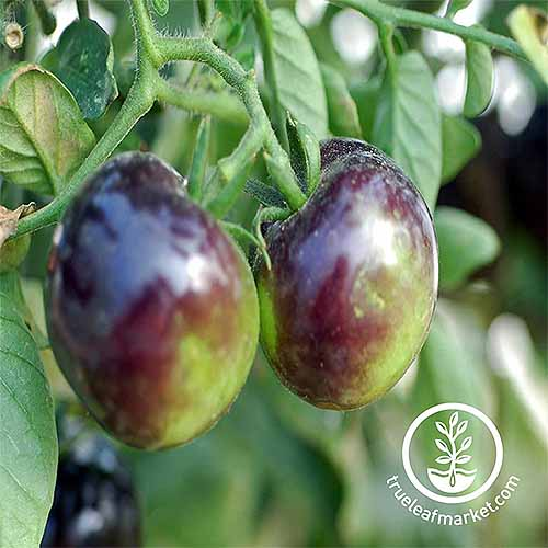 Closeup of two purple and yellow 'Indigo Rose' tomatoes, growing on a plant with green leaves and branches.