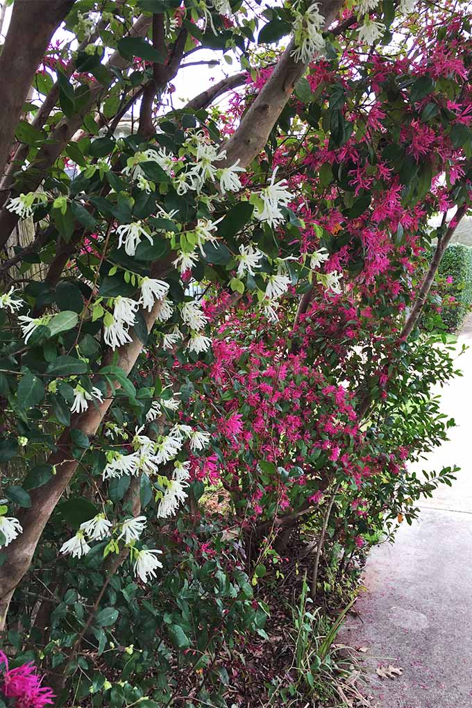 A row of L. Chinense are growing along a sidewalk. The pink and white ribbon like petals of the flowers are densely packed up and down the trees that bear them.
