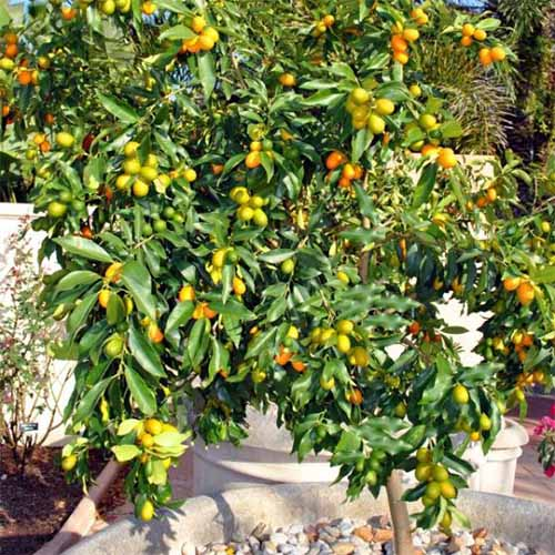 Nagami kumquat tree with small orange and yellow fruit, and green leaves.