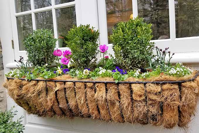 An iron window box planter with a coir fiber liner, planted with peonies, pink and purple flowers, and miniature topiary boxwood bushes, in front of a white framed window.