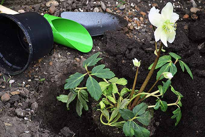 A mature potted Lenten rose is being transplanted into a freshly dug hole. The plant has one large white flower with several smaller immature buds forming. The tools used to dig and a plastic container can be seen nearby.