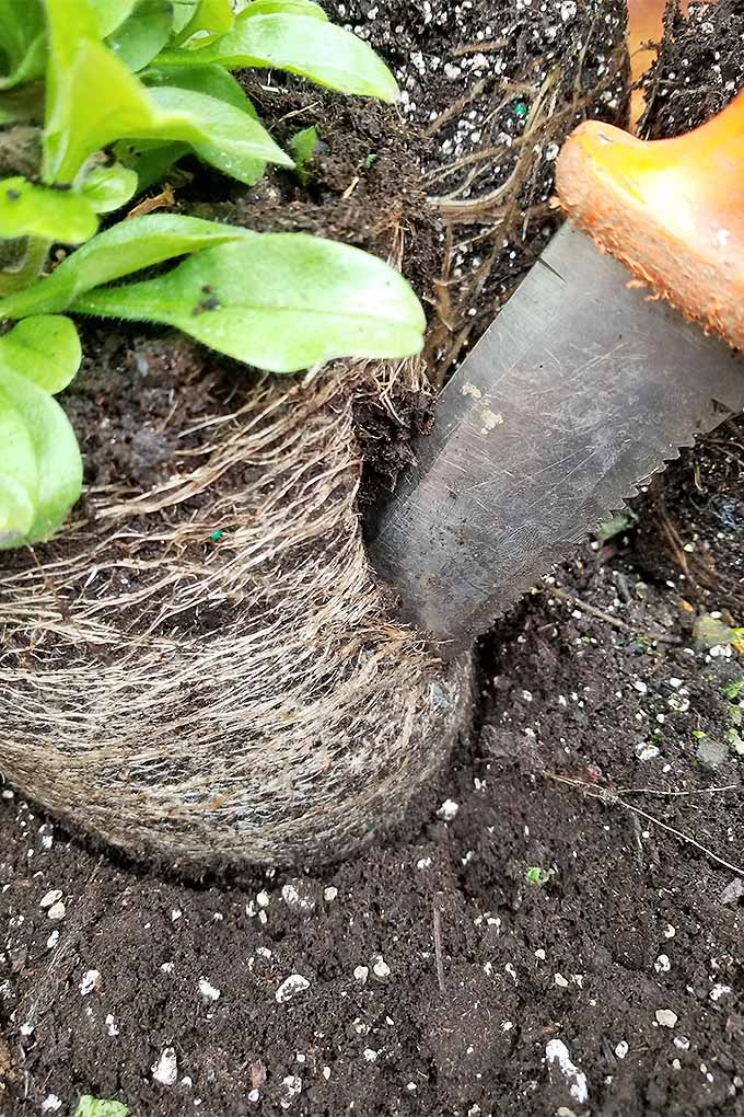 Vertical closeup of a hori hori knife with an orange plastic handle being used to cut through the root bound base of a seedling that is being replanted in brown potting soil.