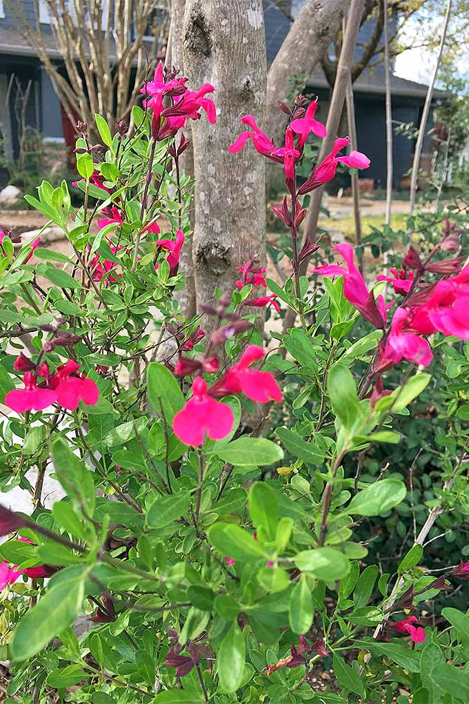 Dark pink S. gregii blooms on plants with thin stems and greenish-yellow leaves, growing with a tree trunk and a blue house in the background.