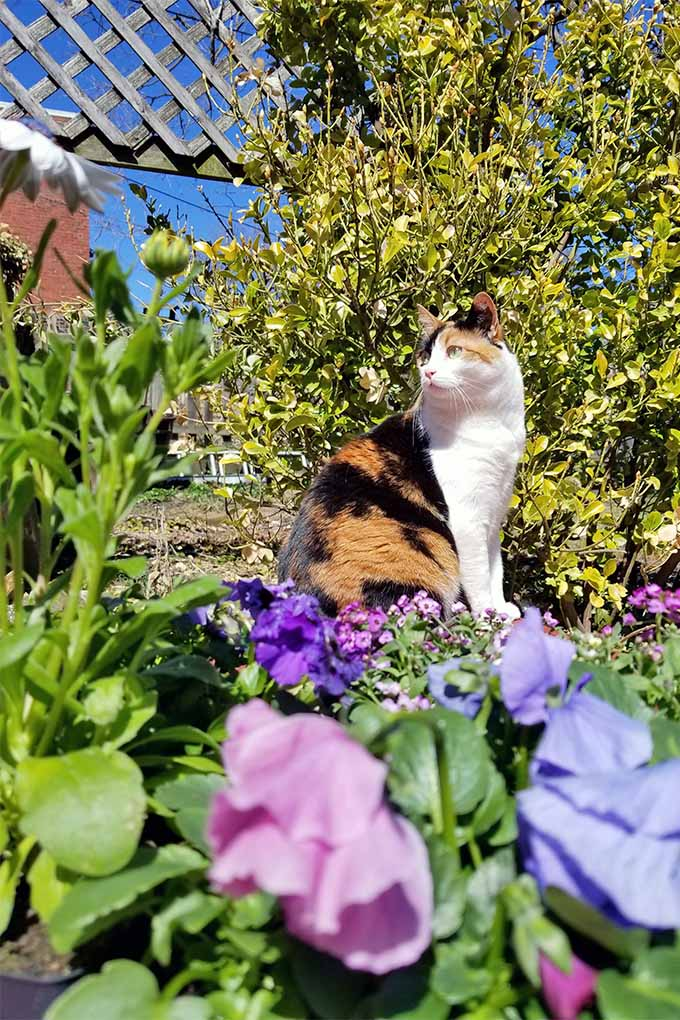 A calico cat is perched in the garden in front of a bush with yellow-green leaves in the background, with pink, blue, and purple pansies in the foreground.