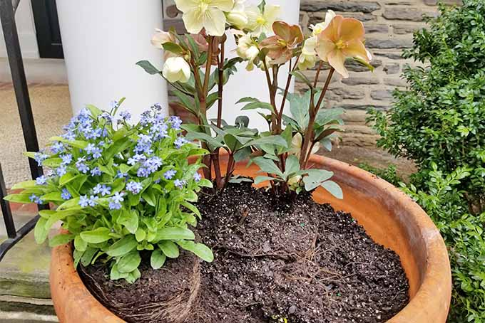 Pale peach hellebores and a forget-me-not newly planted in a large terra cotta container filled with brown potting soil, in front of a brick house with round white pillars on the front porch.
