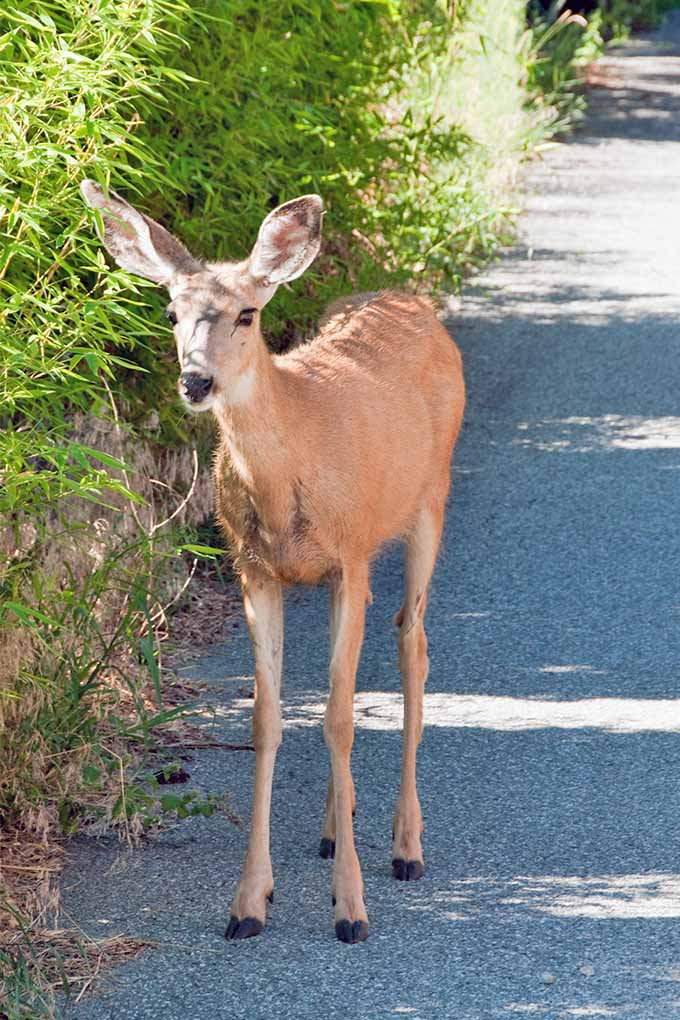 A Young Brown White Tailed Doe Standing On Paved Walkway Next To Tall Perennial
