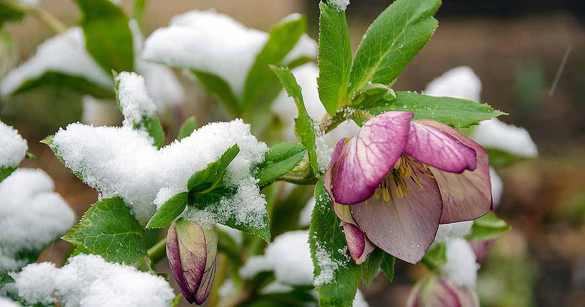 Helleborus Winter