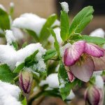 Some freshly fallen spring snow has covered the leaves and branches of a lenten rose. The cold weather plant has already blossomed without regards to the weather. The purple and white flowers can be seen with yellow colored stamens lurking within.