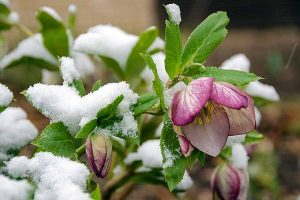 How to Grow Hellebores, the Winter-to-Spring Sensation
