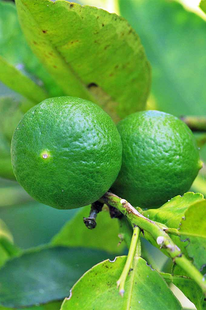 Closeup of two green limes growing on a branch with green leaves.