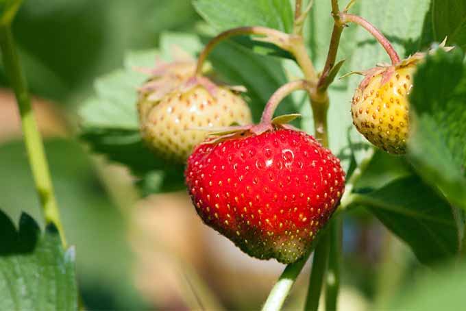 A red strawberry in the foreground that is just about ready to pick but with a tip that is still greenish-white, growing next to two immature white strawberries on stems hanging downward with large green leaves that have serrated edges.