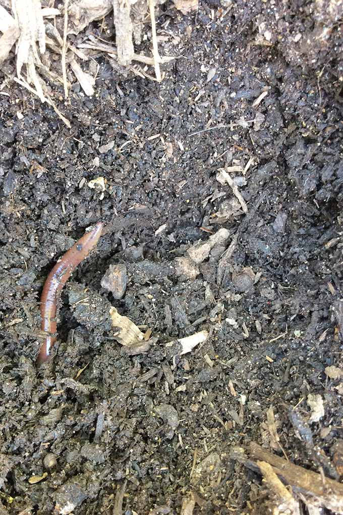 An earthworm peeks out of the dark soil of a garden to get a glimpse of the outside. The worm is a brown color that fades to very light at the end.