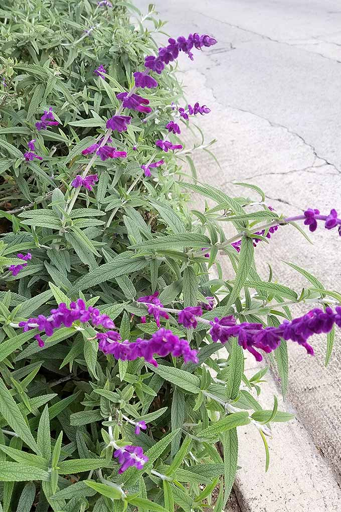 Vertical image of fuzzy purple sage flowers on long stalks, with long, pointy, narrow, silvery green leaves, with a cement curb and asphalt road to the right.