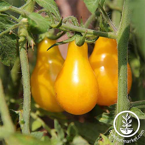 Closeup of three yellow pear-shaped tomatoes growing on a green plant.