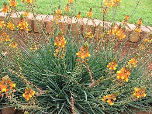 Best Full Sun Flowering Perennials For Zones 7 11 Gardener S Path