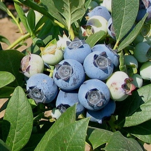 Top 10 Blueberry Varieties To Grow At Home Gardener S Path