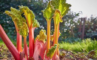 A Tart Addition to the Garden: Grow Rhubarb for Spring Flavor