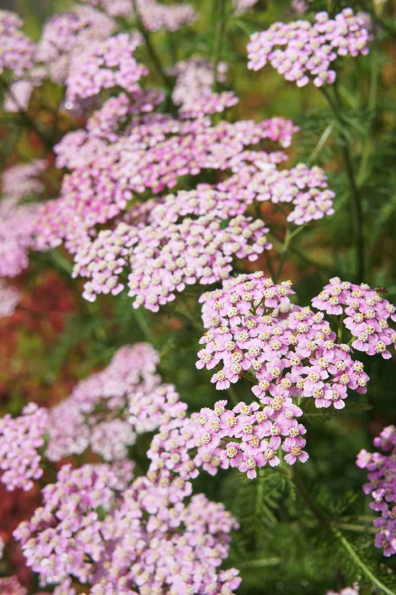 Vertical image of pink flowering Achillea millefolium.