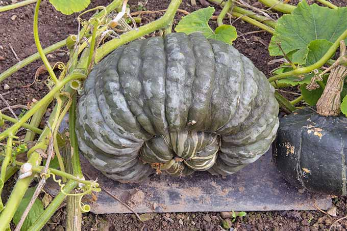 A large gray-green heirloom squash growing in a garden, o a light green vine, with a piece of plexiglass placed beneath the vegetable to separate it from the brown dirt.
