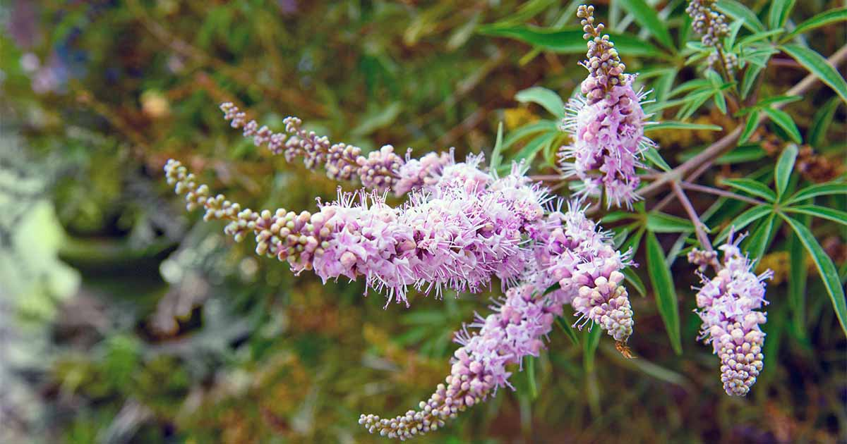 Grow vitex flowering shrubs and trees with these tips gardeners path mightylinksfo