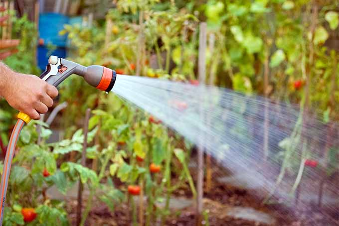 A hand squeezes the handle on a garden sprayer attached to a hose, watering staked tomato plants in the garden.