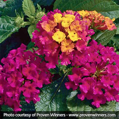 'Bandana Cherry' Lantana flowers, pink and yellow, with green leaves growing in the garden pictured in light sunshine. To the bottom of the frame is a black banner with white text.